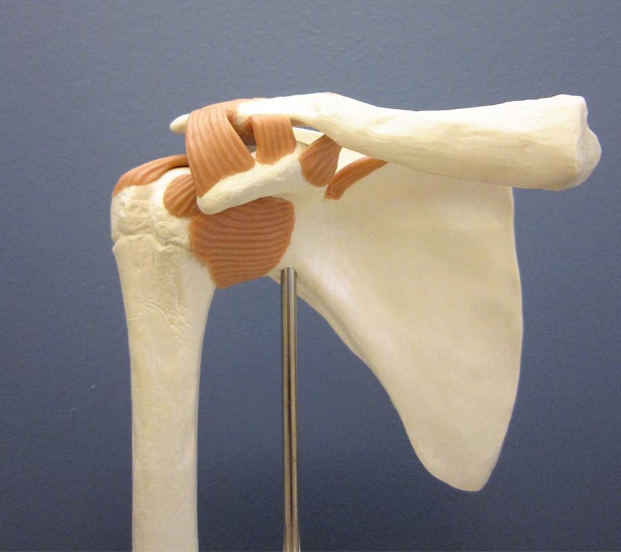 Modell Schulter